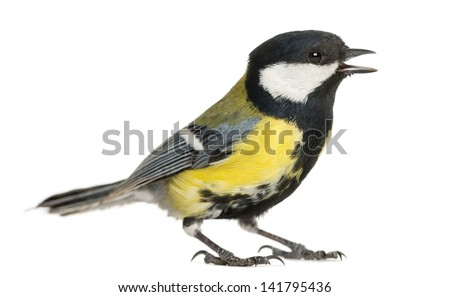 Male great tit tweeting, Parus major, isolated on white Сток-фото ©