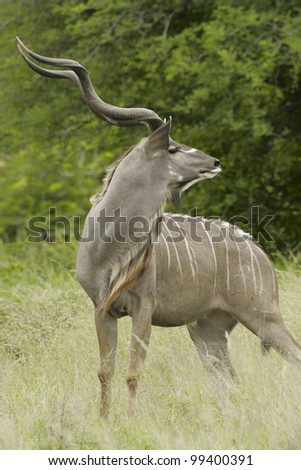 Male Greater Kudu (Tragelaphus strepsiceros), South Africa