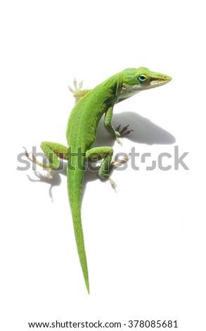 Male Green Anole Lizard on White