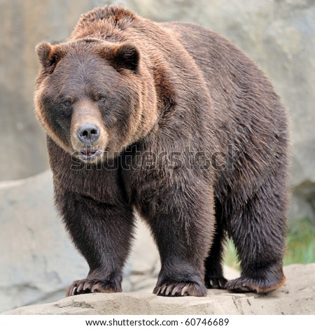 Male grizzly bear (Ursos arctos)