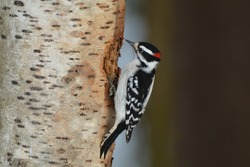 Male Hairy Woodpecker perched on a birch tree