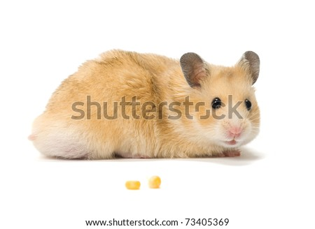 Male hamster and corn seeds on white background.