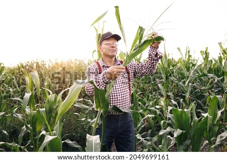 Male hand examining young corn plants. Farmer holds young corn leaves in his hand. Corn Maize Agriculture Nature Field. Agricultural products of farm corn. Farmer checks the harvest on the field