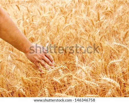 Male hand in gold wheat field on summer day