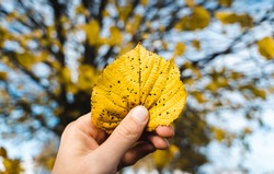 Male hand is holding yellow leaf infront of a tree at autumn