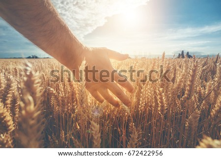 Male hand touching a golden wheat ear in the wheat field, sunset light, flare light. Ukrainian landscape.  #672422956