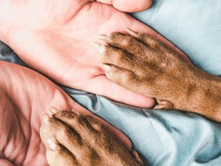 Male hands and paws of a puppy. Close-up, indoor, view from above. Concept of care, education, obedience training, raising pets