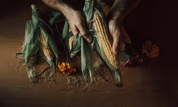 Male hands hold an ear of ripe corn. yellow cobs of ripe corn on a wooden table.