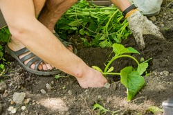 male hands, hold and plant green seedlings. New life, eco, sustainable lifestyle, zero waste, earth day