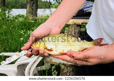 Male hands holding a roach with a hook in the mouth. Roach (Rutilus rutilus), also known as common roach. Close-up on the hands and knife of a fisherman cleaning the scales of freshly caught fish