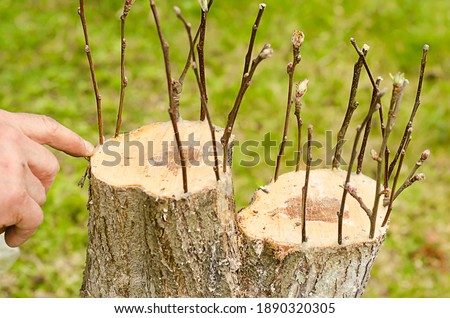 Male hands renovation garden tree in spring. grafting apple trees, pears with young cuttings. using of garden var Stockfoto ©