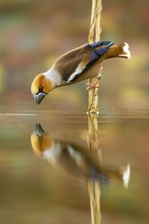 Male hawfinch, coccothraustes coccothraustes, bending down over water surface and drawing beak to drink water. wild animal seeing itself in reflection. Vertical scenery of a songbird in nature
