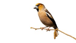 Male hawfinch, coccothraustes coccothraustes, sitting on branch isolated on white background. Colorful bird resting in nature cut out on blank. Wild feathered animal observing from twig with copy