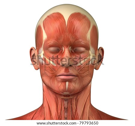 Male head muscular system anatomy frontal lateral view