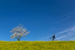 Male high school student riding bicycle on bank of rape blossoms and cherry blossoms. Spring, admission, graduation, going to school, commuting image