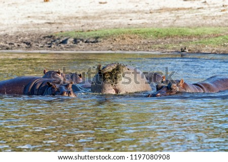 Male hippo (Hippopotamus amphibius) fling its poop by spinning its tail around to distribute the excrement over a greater area to impress females and to mark its territory in Chobe river, Botswana.