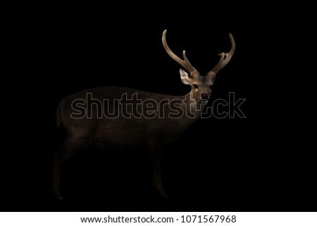 male hog deer standing in the dark