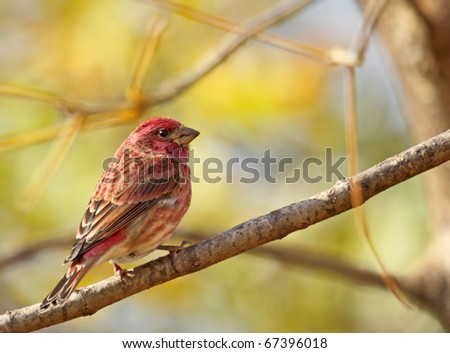Male house finch, Carpodacus mexicanus, perched on a tree branch