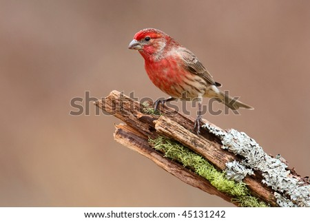 Male House Finch (Carpodacus mexicanus) perched with a colorful background