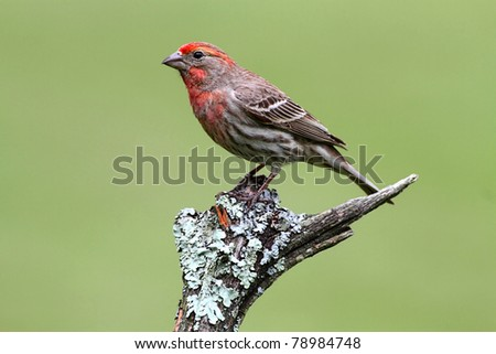 Male House Finch (Carpodacus mexicanus) perched with a green background