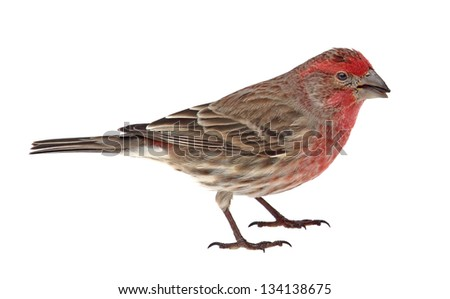Male house finch, Carpodacus mexicanus, with a seed in its beak isolated on white