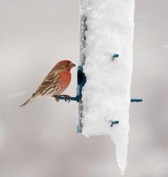 Male House Finch feeding in a snowstorm.