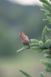 Male House finch resting on branch. That's partly due to the cheerful red head and breast of males, and to the bird's long, twittering song.