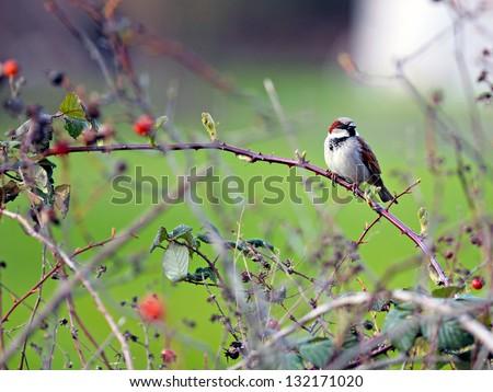 stock-photo-male-house-sparrow-132171020.jpg
