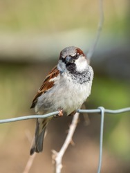 Male House Sparrow, Passer domesticus