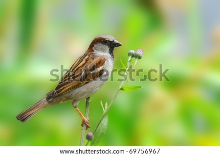 Male House Sparrow -  (Passer domesticus)