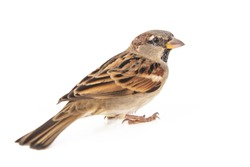Male House Sparrow (passer domesticus) isolated on a white background.