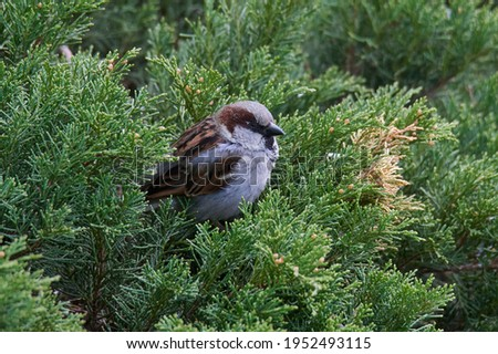 Male house sparrow, Passer domesticus, perched on a tree branch. Bird sitting on a conifer in summer. Alerted wild animal. Foto stock ©
