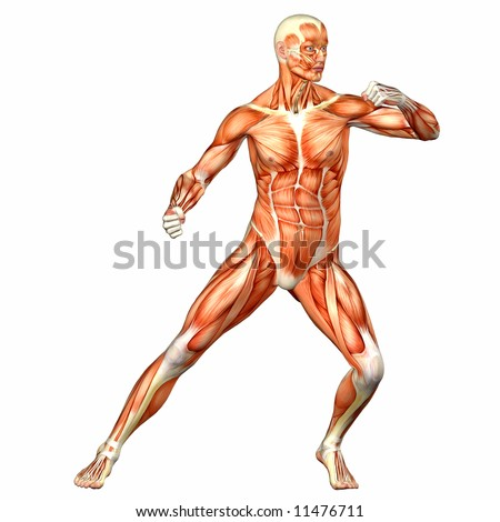 Male Human Body Anatomy