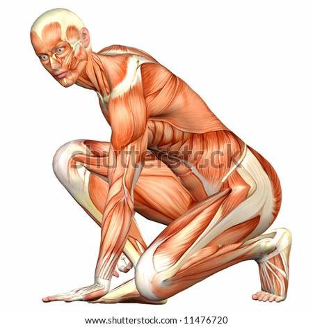 Male Human Body Anatomy - stock photo