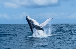 male humpback whale breaching off tropical island in turqouise water/ sainte marie madagascar