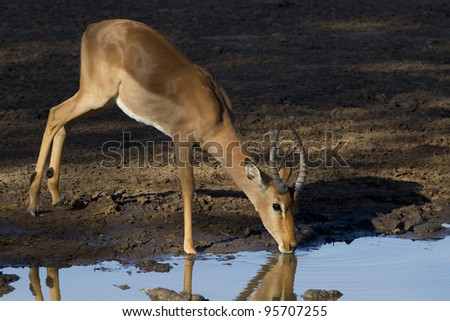 Male Impala antelope (Aepyceros melampus) drinking from a natural pan in South Africa's Kruger National Park