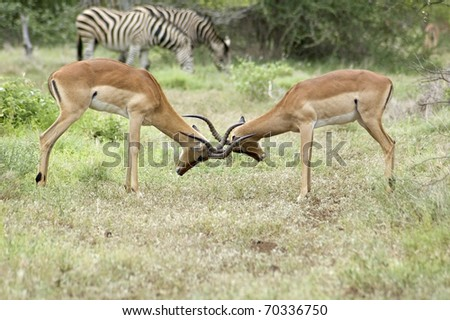 Male Impala Antelope (Aepyceros Melampus) fighting in the Kruger Park, South Africa.