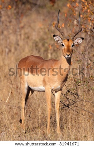 Male impala antelope (Aepyceros melampus), Kruger National Park, South Africa - stock photo