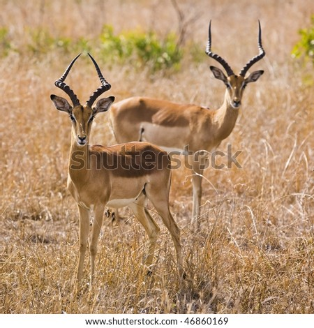 Male impala antelopes, Kruger National Park, South Africa