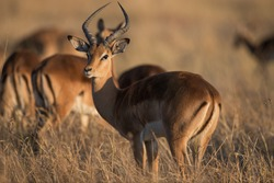Male impala in afternoon sunlight in Moremi National Park, Botswana