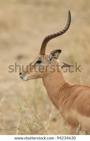 Male Impala in Kruger National Park, South Africa