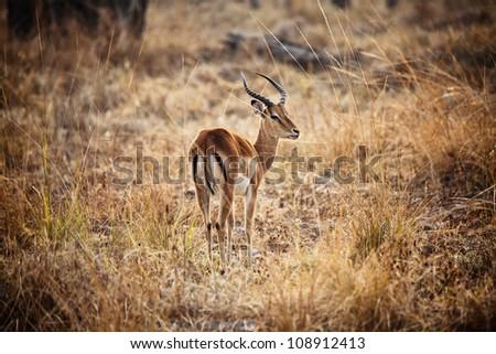 male impala in luangwa national park zambia