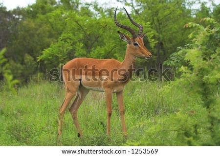 Male Impala looking out for danger