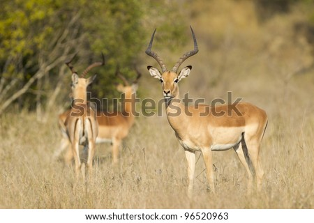 Male Impala Ram (Aepyceros melampus), Kruger Park, South Africa