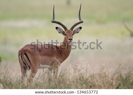 Male impala shading in african savanna