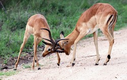 Male impalas sort things out with their horns. Young males of the African impala antelope engage in hierarchical wrestling.