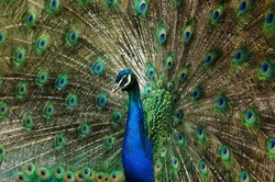 Male Indian Peacock displaying spread feathers