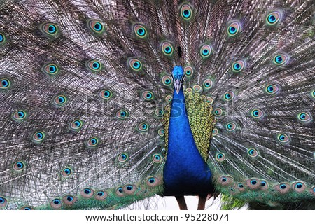 Male indian peacock with feathers out