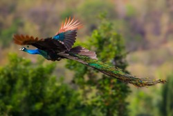 Male Indian peafowl, Blue peafowl(Pavo, cristatus) flying in real nature in Thailand