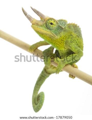 male Jackson?s Chameleon (Chamaeleo jacksonii) on white background.